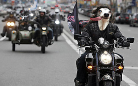 Chú chó thè lưỡi mặt ngố bị các thánh photoshop rảnh việc lôi ra chế ảnh
