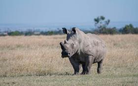 FA quá lâu, chú tê giác trắng đực cuối cùng trên thế giới lên Tinder tìm bạn tình