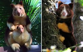 Hóa ra Úc còn có loài chuột túi ôm cây đáng yêu dã man