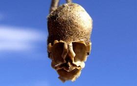 Loài hoa khi chết biến thành hình đầu lâu xương sọ lủng lẳng trên cây