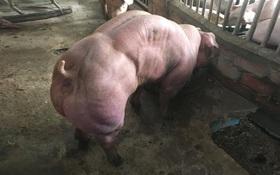 Đàn lợn đột biến gen gây sốc với thân hình cơ bắp cuồn cuộn