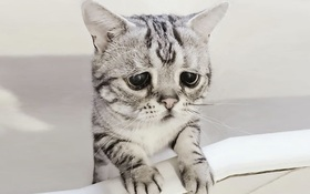 Nhìn bộ mặt buồn thiu như mất sổ gạo của boss mèo đáng yêu, con sen nào cũng muốn ôm lấy một cái