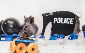 Mới 6 tháng tuổi, chú lợn háu ăn đã là một cảnh sát thực thụ