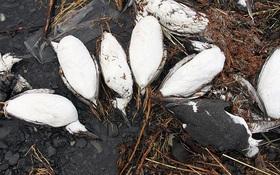 Nguyên nhân này đã khiến hàng chục ngàn chú chim chết bất thường dọc bãi biển Alaska