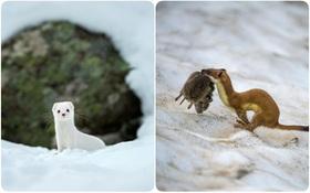 Mùa hè đã... lột trần những con thú tuyệt xinh vùng băng tuyết như thế này đây
