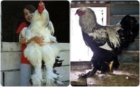 Có thể bạn chưa biết: Con gà khổng lồ trong hình này có thật