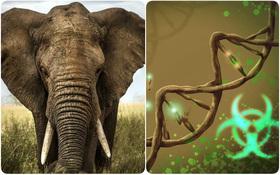 """Loài voi gần như không bao giờ mắc ung thư và câu trả lời đến từ """"gene zombie"""""""