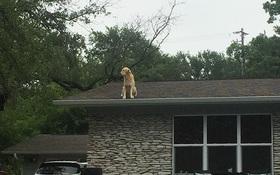Chú chó có sở thích lên nóc nhà là ngắm con gà
