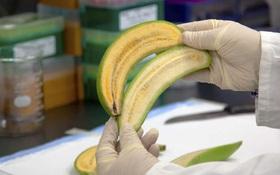 Đây là những trái chuối sẽ cứu mạng hàng trăm ngàn trẻ em trên thế giới - Nó có gì đặc biệt?