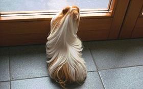 """Ngắm 10 bé chuột lang sở hữu """"mái tóc"""" mượt mà như quảng cáo dầu gội"""