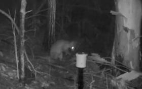 Phát hiện thấy sinh vật nửa mèo, nửa chuột túi ở Úc
