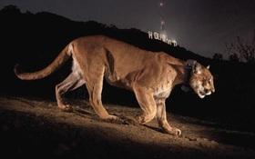 Nửa đêm canh ba, sư tử lẻn vào nhà cuỗm mất chó con