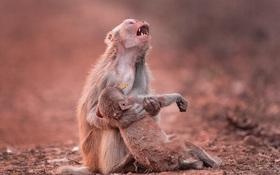 Tình mẫu tử nghẹn ngào nước mắt trong bức hình khỉ mẹ khóc thương cho đứa con tội nghiệp