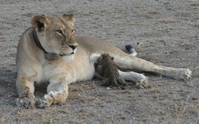 """Sư tử cho báo đốm con bú sữa: Thiên chức được làm mẹ hay """"nuôi ong tay áo, nuôi... báo trong nhà""""?"""