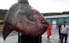 Bắt được sinh vật khổng lồ dưới đáy biển nặng tới 1,2 tấn, ngư dân đem xẻo thịt cho gấu ăn