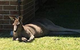 Dù sáng nào cũng được cho ăn, con kangaroo vô ơn tấn công người đàn ông tốt bụng đến nhập viện