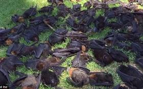 Trời nắng nóng 47 độ, hơn 700 con dơi lăn đùng ra chết tươi