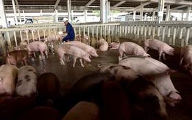 Nhà giàu treo thưởng 500.000 đồng tìm thịt lợn sạch ăn Tết