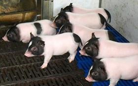 Các nhà khoa học Trung Quốc cấy gen chuột vào lợn khiến thịt của chúng nạc hơn