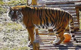 Kết luận bất ngờ của vườn thú có nhân viên bị hổ vồ