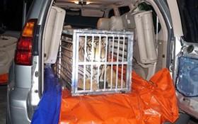 Dùng xe Lexus chở hổ 300kg từ Nghệ An về Hà Nội tiêu thụ