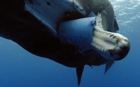 Tưởng chú cá voi bị đột biến, nhưng hóa ra là lời cảnh tỉnh đáng sợ với con người về môi trường biển