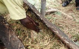 """Thấy người dân đổ đống chuối vào thân cây gỗ rồi giẫm nát, ai cũng ghê nhưng không ngờ đây là thức uống """"vạn người mê"""""""