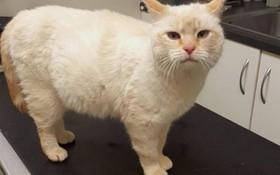 Thấy bụng mèo to khác thường, gia đình tưởng sắp đẻ nhưng khi mổ ra thì sự thật không phải như vậy