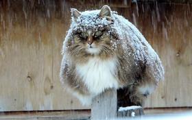 Đàn mèo Siberia xâm chiếm khu vườn của người nông dân, thế nhưng ý đồ của chúng vô tình trở thành việc tốt