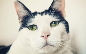 Chú mèo Nhật Bản với gương mặt buồn rười rượi, thương ơi là thương!