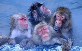 Thời tiết giá lạnh, khỉ ở Nhật Bản rủ nhau ngâm suối nước nóng, đốt lửa trại nướng khoai ăn
