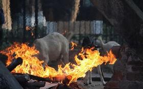 Bật máy sưởi, đốt lửa để giữ ấm cho động vật quý hiếm ở Vườn thú Hà Nội