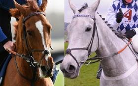 Bi kịch tình yêu của hai chú ngựa đua được ví như thiên tình sử Romeo và Juliet