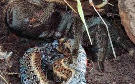 Nhện khổng lồ xả thịt rắn - cảnh tượng khoa học chưa từng thấy bao giờ