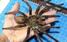 Cận cảnh loài nhện lớn nhất thế giới - có thể xơi tái chuột trong chớp mắt