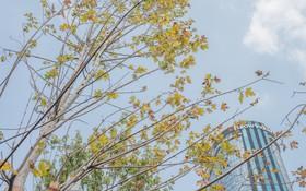 """Cận cảnh hàng cây phong lá đỏ """"củi khô"""" trước đây đã chuyển màu trên đường phố Hà Nội"""