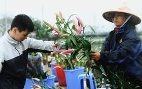 Nông dân Tây Tựu điêu đứng vì hoa ly nở muộn, nhưng không có chuyện một cành ly giá chỉ 2.000 đồng