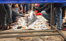 Cá heo trắng dạt vào bờ ngày vía Thần Tài, người dân chen nhau chạm vào lấy may