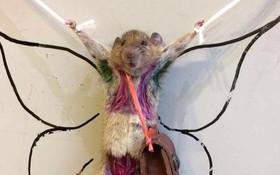 Con chuột bị nhuộm lông thành hình bikini rồi bêu riếu trên MXH vì tội phá hoại