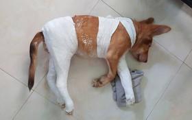 """Chủ chú chó """"thánh nhọ"""": """"Em ấy bị gãy 2 chân vì đi toilet, nằm lăn qua lăn lại gãy luôn chân thứ 3"""""""