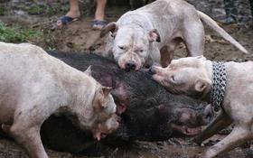 Cộng đồng lên án việc tổ chức cho bầy chó săn lao vào giằng xé lợn rừng đến chết: Huấn luyện hay thú chơi man rợ?