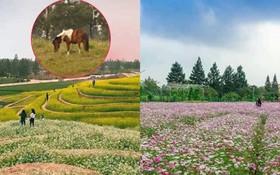 Cư dân mạng bỗng dưng phát hiện ra vườn hoa cải trắng và ruộng bậc thang chỉ cách Hà Nội có 20km