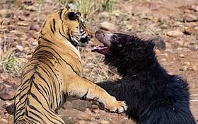 7 ngày qua ảnh: Kịch chiến hiếm thấy giữa gấu mẹ và hổ đực