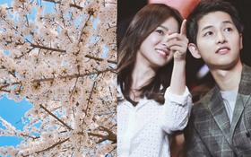 Dính nhau đến thế là cùng, vợ chồng Song Joong Ki và Song Hye Kyo rủ nhau đi ngắm hoa anh đào lãng mạn