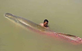 """Ngư dân Tây Ninh tiếp tục bắt được cá """"khủng"""", xẻ thịt chia cho hàng xóm cùng ăn"""