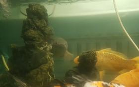 Chú cá rô bỗng nổi tiếng MXH vì gương mặt đầy biểu cảm, quyết tâm xa lánh thanh niên chủ định ăn thịt mình