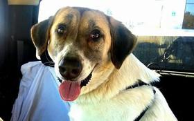 Cảm động lòng trung thành của chú chó, 2 lần vượt hơn 30 cây số tìm về với chủ cũ