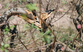 Một chủ vườn ở Bắc Ninh uống thuốc sâu tự tử sau vụ việc gần 200 gốc đào bị chặt phá