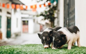 """Giữa sức nóng dịch tả, giới trẻ Hà thành vẫn """"săn lùng"""" lợn cảnh mini giá vài triệu làm thú cưng"""