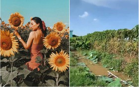 Hốt hoảng trước cảnh tượng hoang tàn của vườn hướng dương hot nhất Sài Gòn: Hoa héo úa, rác ngập tràn khắp nơi!
